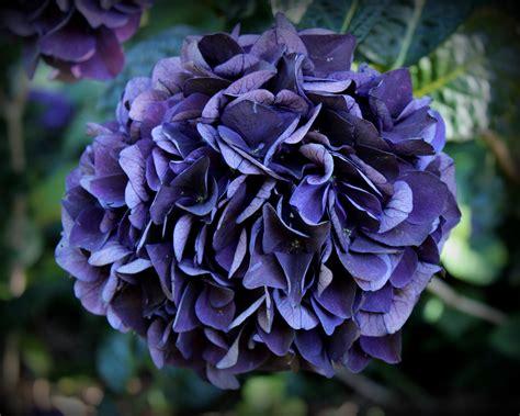 purple hydrangea purple hydrangea www imgkid com the image kid has it