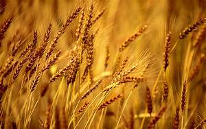 Wheat Field Background Wallpapers - 1680x1050 - 718852