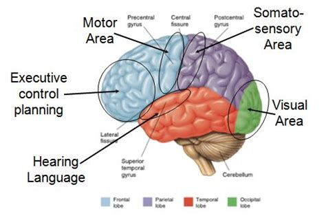 major functions   brain   related areas