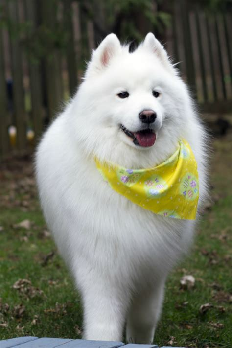 Samoyed Scarf And All Hopes And Dreams Samoyed Dogs