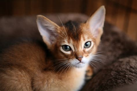 Kittens  Cfa Abyssinian Cattery Abys Show Cats For Sale