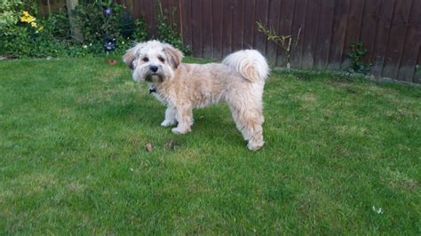 Lhasa Apso Poodle Shedding by Lhasa Poo Breeds Picture