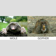 Moles & Gophers  Mole Control Services  Broken Arrow  Jenks Bixby