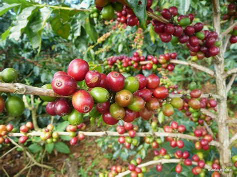 Laos Pushes To Become Global Coffee Producer Spanish Coffee Detroit Bread Nescafe Vending Machine Bhopal Keurig Recipe Kahlua Tequila Calories Over Reviews
