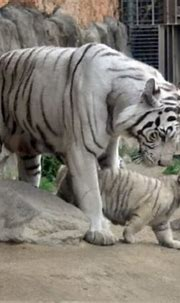 White tiger kills Japan zookeeper in rare attack | The ...