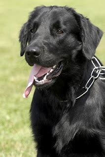 1000 images about flat coated retrievers on pinterest