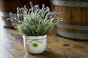 Lavendel Pflanzen Im Topf : lavendel im topf provence flair f r zuhause ~ Lizthompson.info Haus und Dekorationen
