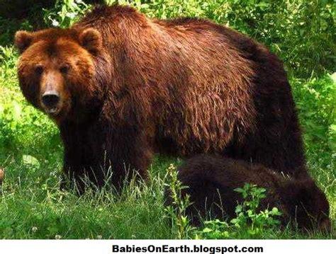 Baby Siberian Brown Bear