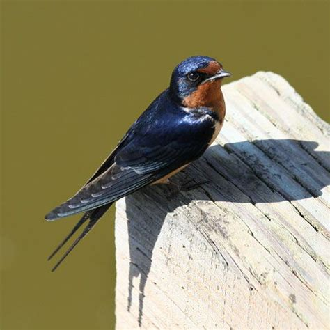what do barn swallows eat 41 best images about iowa birds in my area on
