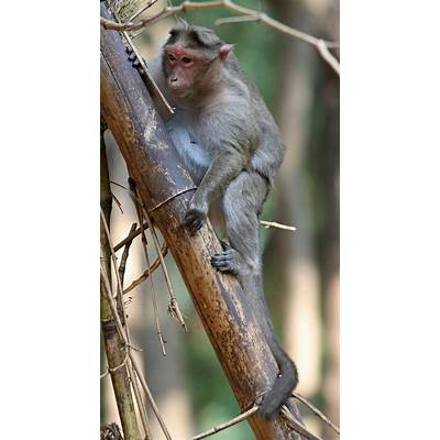 File:Crab-eating Macaque tree.jpg - Wikimedia Commons