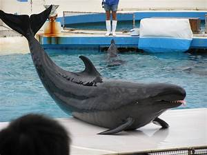 False Killer Whales... Just like Free Willy? | Featured ...