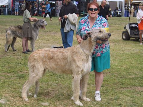Ballymacmoy Irish Wolfhounds Puppies For Sale
