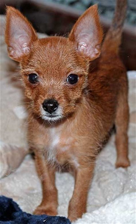 chorkie puppy  sale  south florida