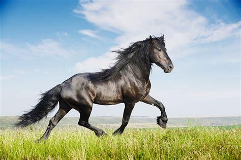 Black Friesian Stallion