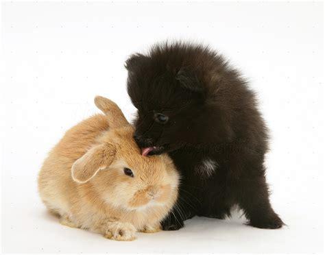 black pomeranian pup  sandy baby rabbit