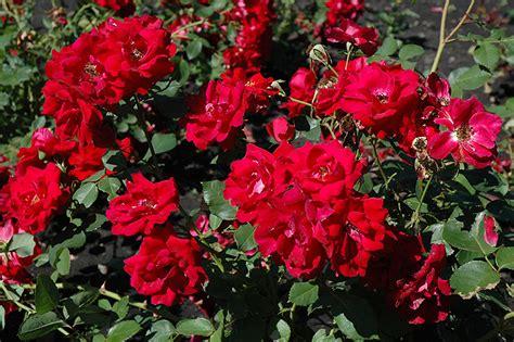 champlain rose rosa champlain  inver grove heights