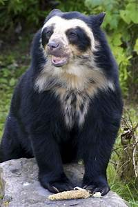 Spectacled Bear, Chester Zoo   Particulary Palletted ...