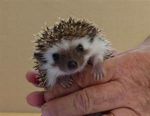 African Pygmy Hedgehog Baby for sale. | Leicester ...