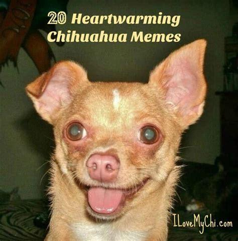 Meme Chihuahua - 20 heartwarming chihuahua memes