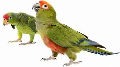 Burung Ekogeo Suara Beo Manusia