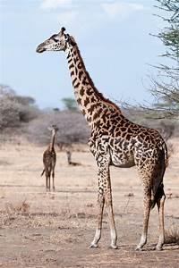 Giraffes – The Silent Extinction  Giraffe