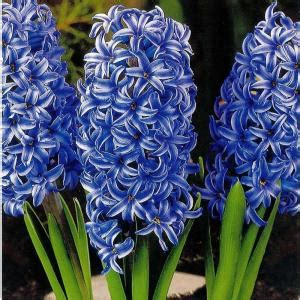 hyacinth blue jacket dormant bulbs 10 pack 70150 the