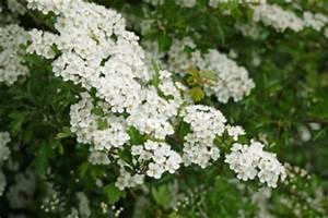 Heimische Pflanzen Für Den Garten : str ucher pflanzen so wird ihr garten blickdicht ~ Michelbontemps.com Haus und Dekorationen