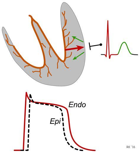 cv physiology electrocardiogram ekg ecg