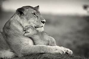 lioness & cub | Animal mothers and their babies | Pinterest