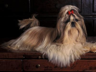 non shedding dog breeds or dogs that don t shed hair are