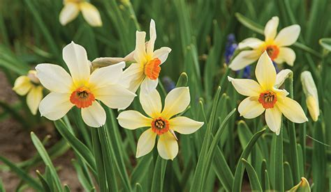 narcissus firebird white flower farm