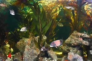 National Aquarium | Thoughtful Thursday: Giant Kelp, the ...