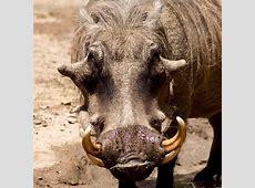Warthog Fresno Chaffee Zoo