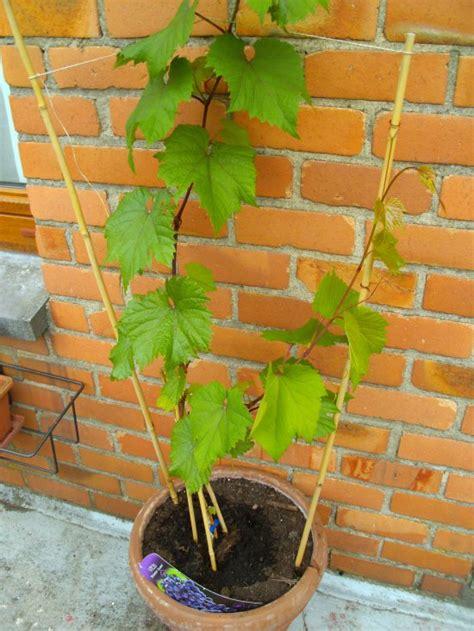 articles de virginie 376 tagg 233 s quot comment cultiver une vigne en pot quot jardins de r 234 ve skyrock