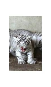 Ukraine's Newborn White Tigers   Animals Library