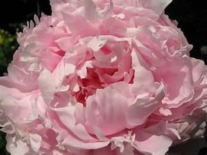 Pfingstrose Sarah Bernhardt : pfingstrose paeonia lactiflora 39 sarah bernhardt 39 ~ A.2002-acura-tl-radio.info Haus und Dekorationen