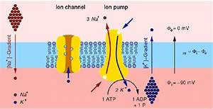 2  Sketch Of The Structure Of The Cell Membrane Showing
