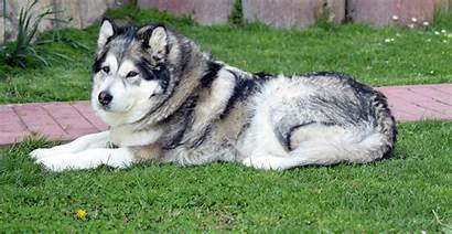 Malamute Alaskan Breed Dog