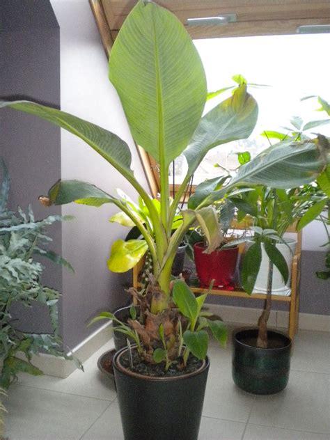 bananier a la rescousse au jardin forum de jardinage