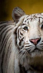 White Tiger HD Wallpaper | Background Image | 2880x1920 ...