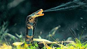 Top ten most venomous snakes in the world | eHowzit