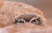 Washi 「偷窺中的貓頭鷹」貓頭鷹是智慧的象徵,黑格爾:「哲學就像密涅瓦的貓頭鷹總在夜幕低垂時展翅飛翔 ...