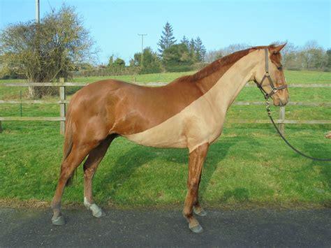 gelding horses horse zuleta gb ex fr colt nh training race trader racehorsetrader