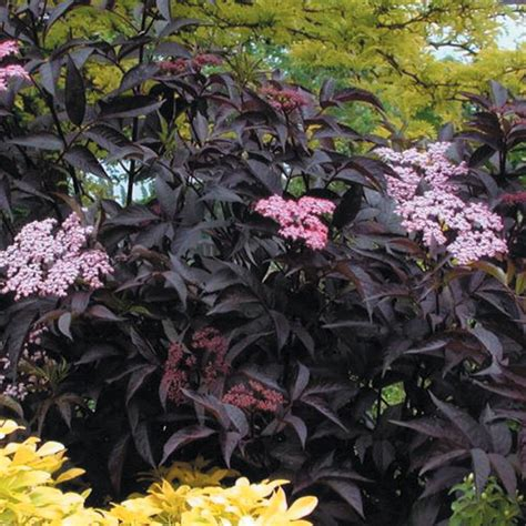flowering shrubs for shade flowering shrubs for shade gardens hgtv