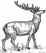 Coloring Animals Wild Animal Colouring Elk Deer Hubpages Books Colour Template Drawings Adult Pencil Children sketch template