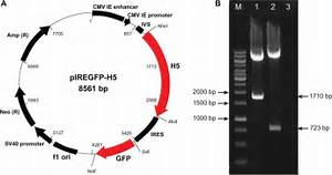 A  Map Of Dna Plasmid Piregfp