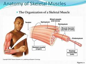 Ppt Mscler System