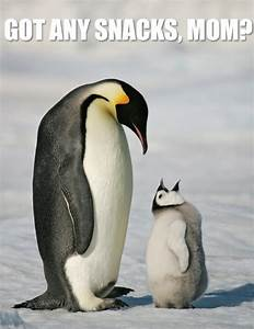 - Mother emperor penguins are typically out at sea...