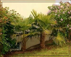 Phoenix Canariensis Pflege : ph nix canariensis hilfe pflegen schneiden veredeln ~ Lizthompson.info Haus und Dekorationen