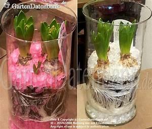 Blumenzwiebeln Im Glas : hyazinthe im topf im glas pflege tipps und bilder ~ Markanthonyermac.com Haus und Dekorationen